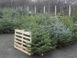 prodaja božićnih drvaca