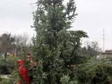 velika božićna drvca